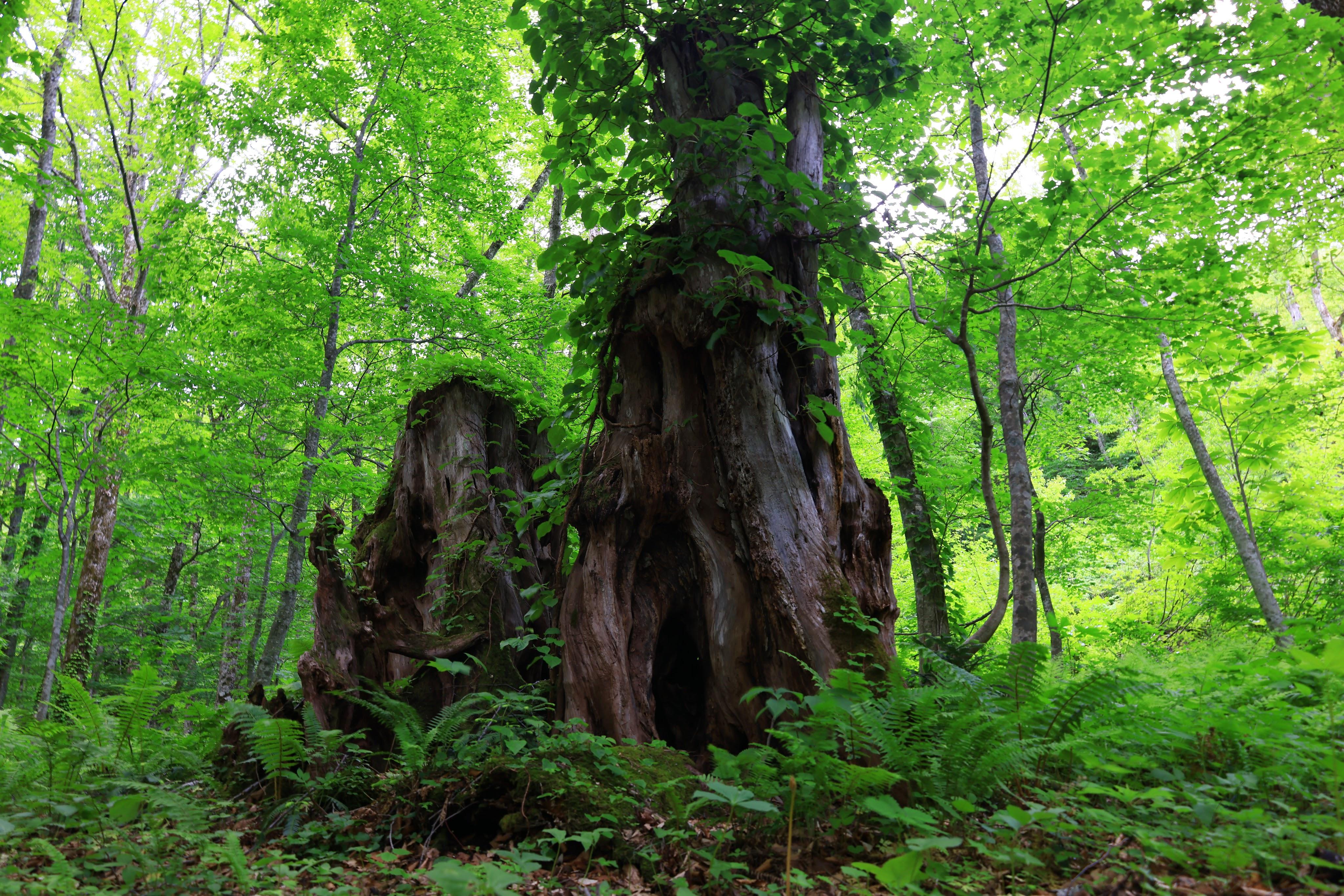 森の中のブナの木